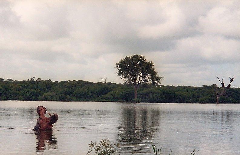 Flusspferd im Krüger Park