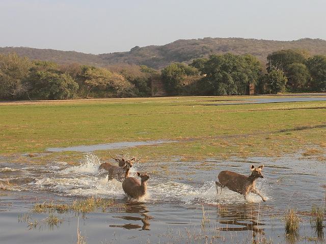 Springende Hirsche
