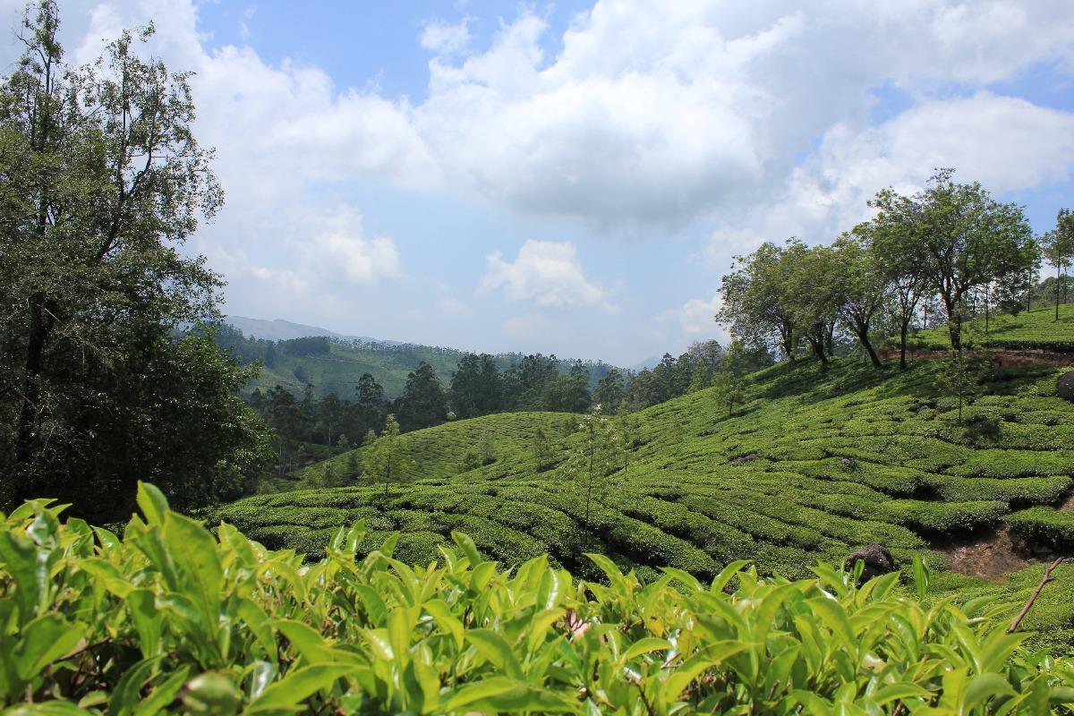 Teeplantagen bei Munnar