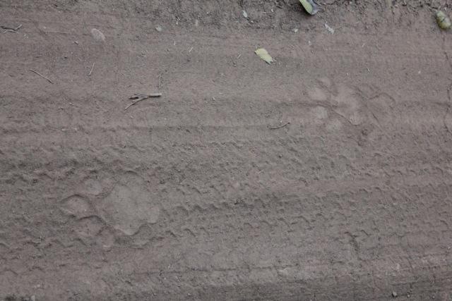 Tiger Spuren im Sand