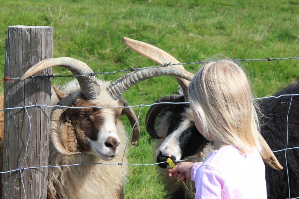 4-hörniges Schaf